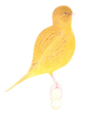 The Variations in Colourings of The Fife Canary
